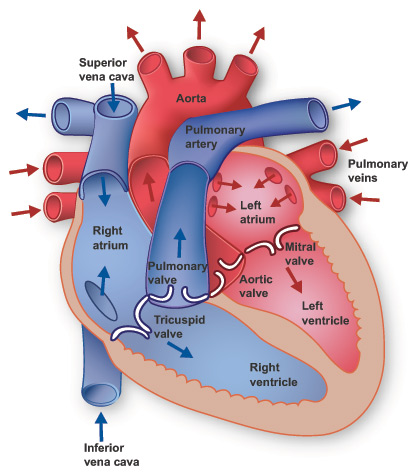 Big diagram of heart search for wiring diagrams year 6 heart dissection elmhurst primary school rh elmhurstprimary co uk dog heart diagram real heart ccuart Gallery